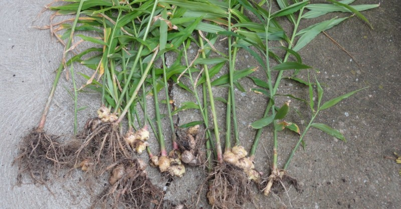 Ginger root rhizomes
