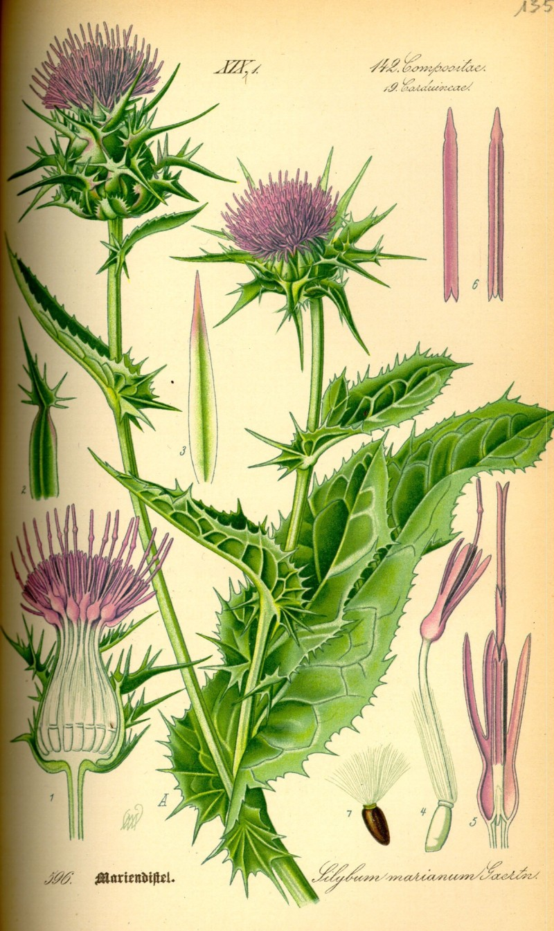 Milk thistle botanical drawing