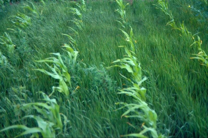 Super weeds GMO