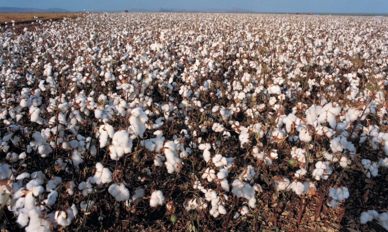 GMO cotton fields