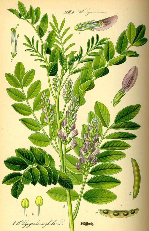 Glycyrrhiza glabra Licorice Plant liquorice